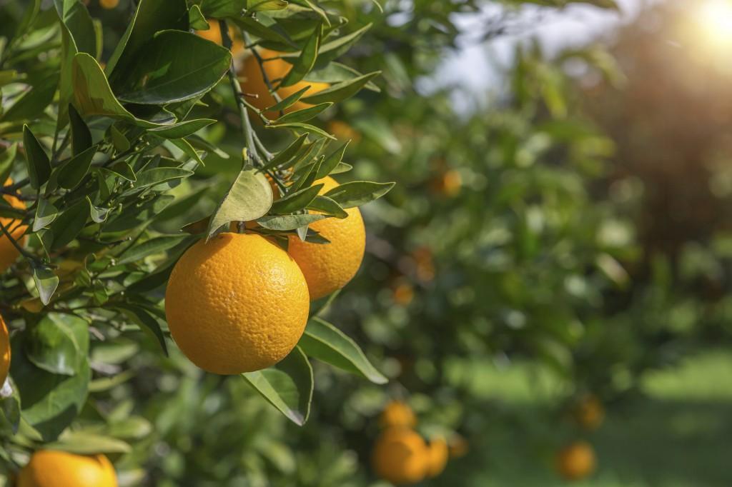 oranges - Copy